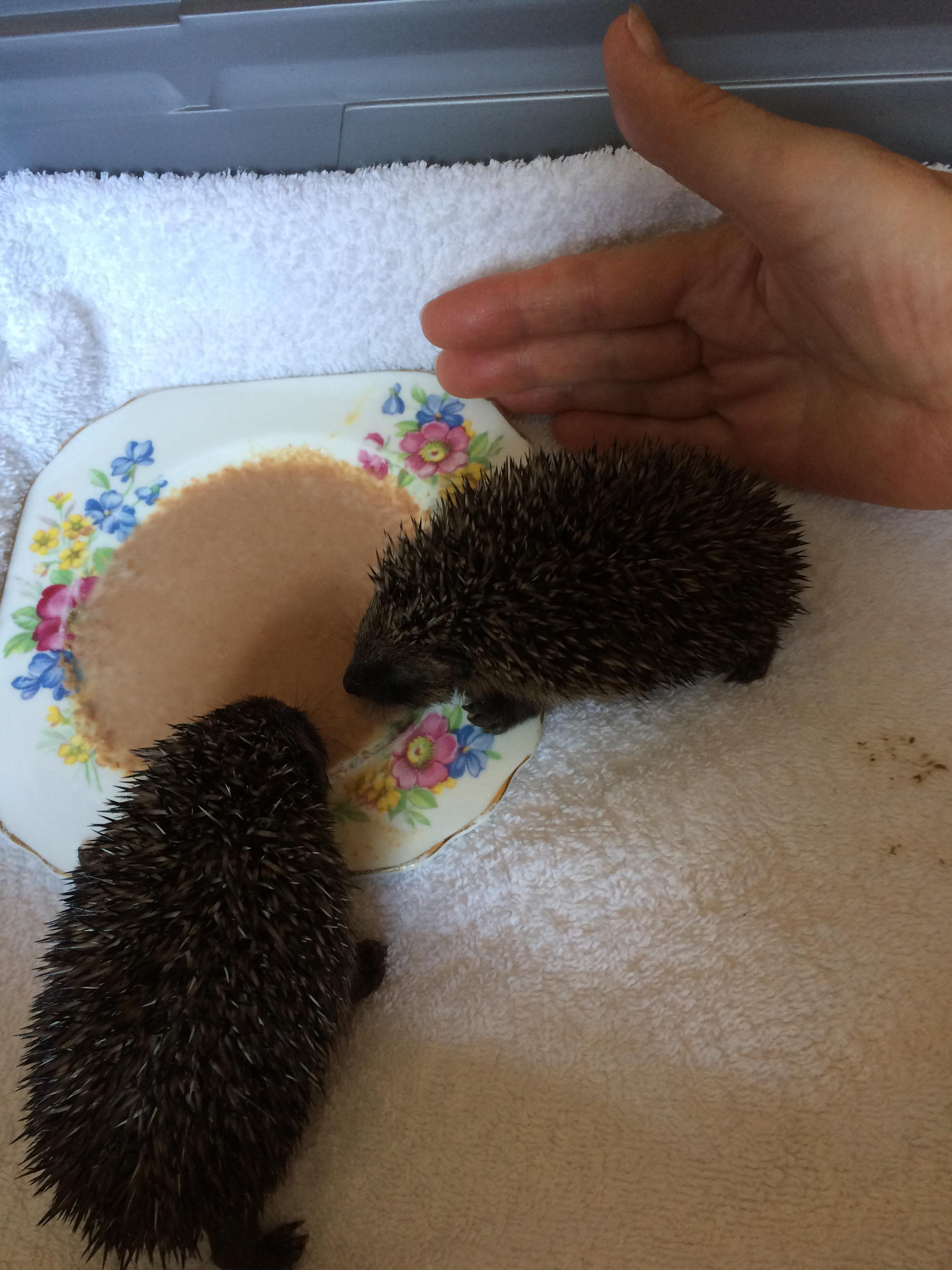 Local Hedgehog Rescue – Appeal for Funds